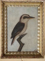 Kookaburra, Dacelo-novaeguineae