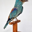 European_Roller_Taxidermy, Taxidermy, Coracias_gurrulus,