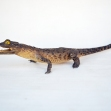 Saltwater-Crocodile, Crocodylus-porosus Taxidermy