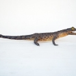 Saltwater-Crocodile, Crocodylus-porosus, Taxidermy