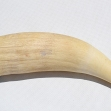 Sperm-whale-tooth.
